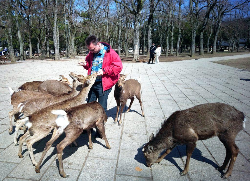 Nara: Tourist wird von Rehen gefressen